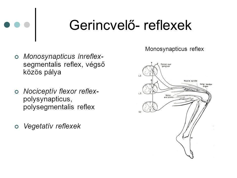 Gerincvelő- reflexek Monosynapticus reflex. Monosynapticus ínreflex- segmentalis reflex, végső közös pálya.