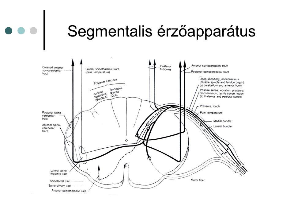 Segmentalis érzőapparátus