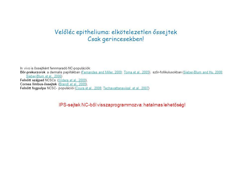 Velőléc epitheliuma: elkötelezetlen őssejtek Csak gerincesekben!