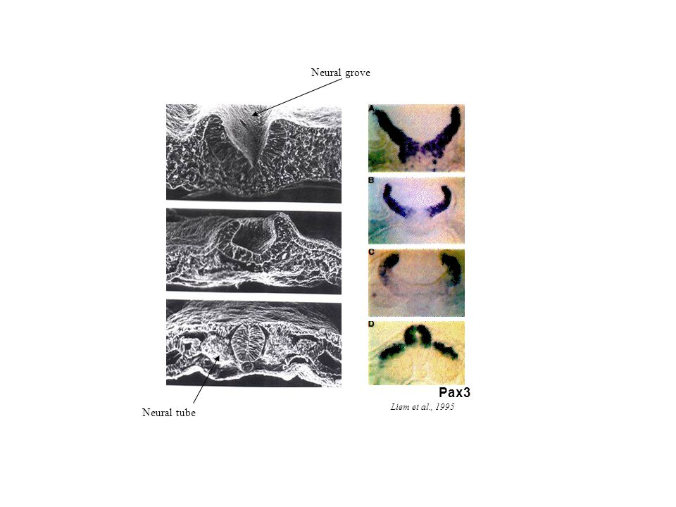 Neural grove Pax3 Liem et al., 1995 Neural tube