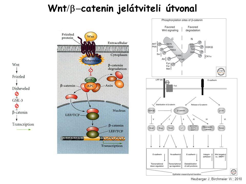 Wnt/b-catenin jelátviteli útvonal