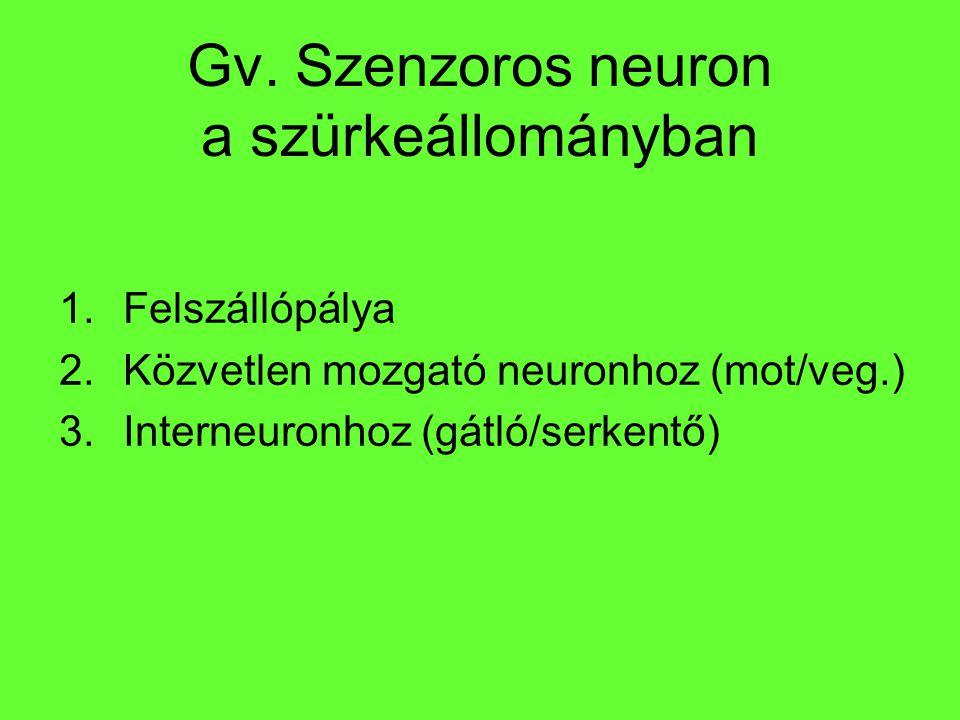 Gv. Szenzoros neuron a szürkeállományban