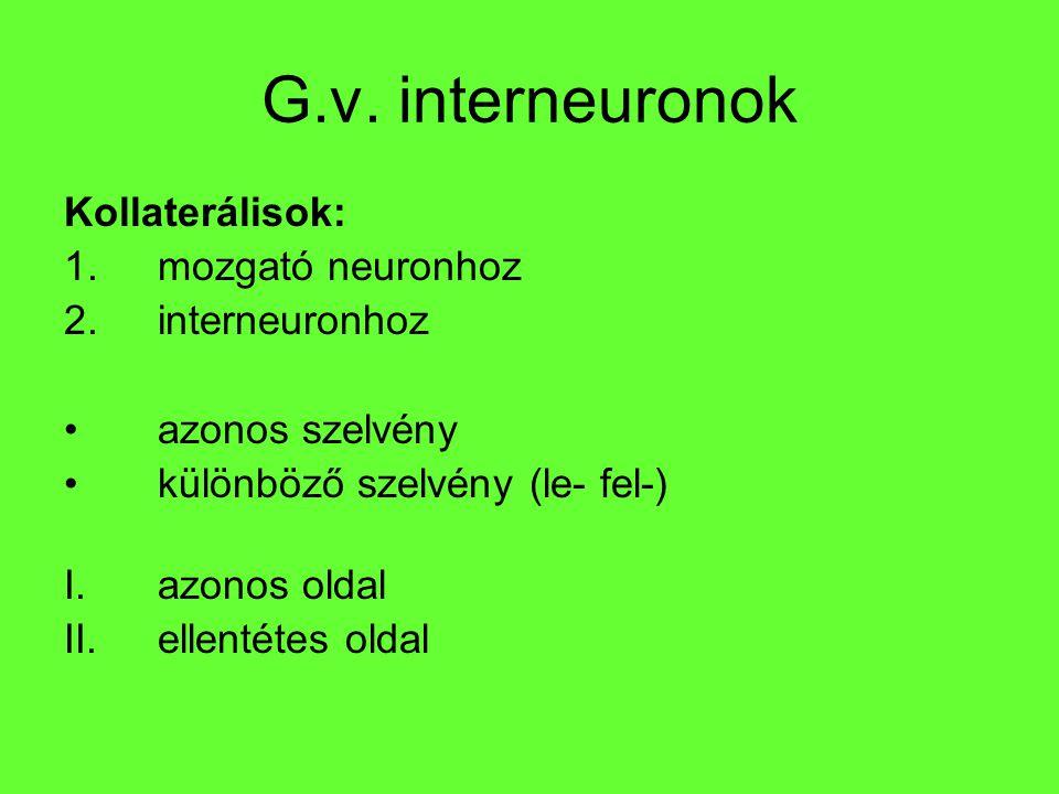 G.v. interneuronok Kollaterálisok: mozgató neuronhoz interneuronhoz