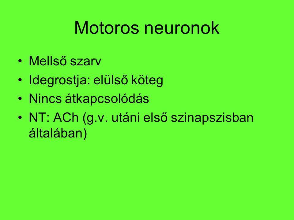 Motoros neuronok Mellső szarv Idegrostja: elülső köteg