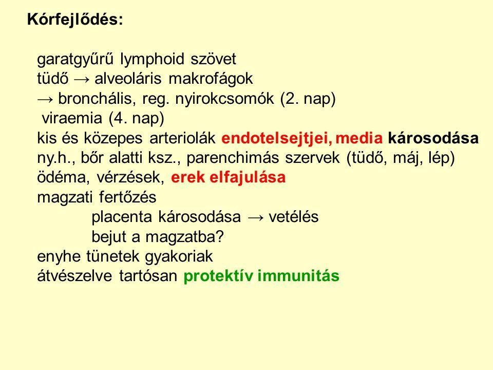 Kórfejlődés: garatgyűrű lymphoid szövet. tüdő → alveoláris makrofágok. → bronchális, reg. nyirokcsomók (2. nap)