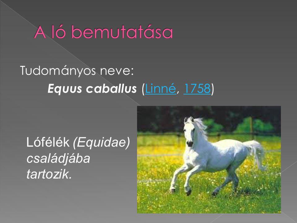 A ló bemutatása Lófélék (Equidae) családjába tartozik.