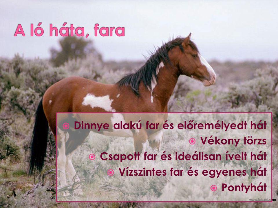 A ló háta, fara Dinnye alakú far és előremélyedt hát Vékony törzs