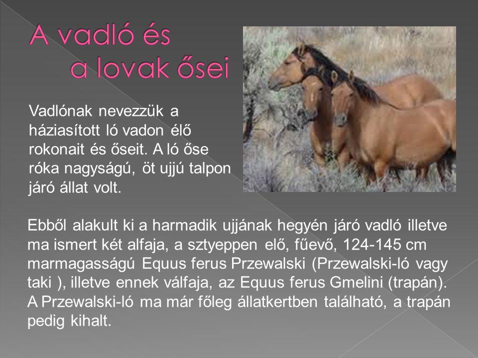 A vadló és a lovak ősei Vadlónak nevezzük a háziasított ló vadon élő rokonait és őseit. A ló őse róka nagyságú, öt ujjú talpon járó állat volt.