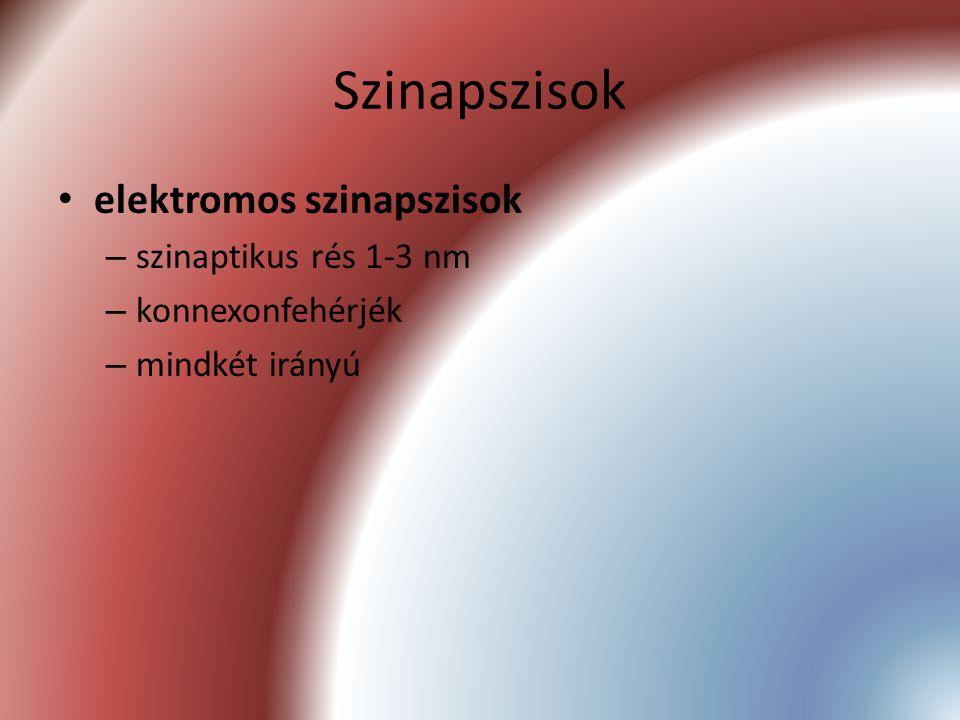 Szinapszisok elektromos szinapszisok szinaptikus rés 1-3 nm
