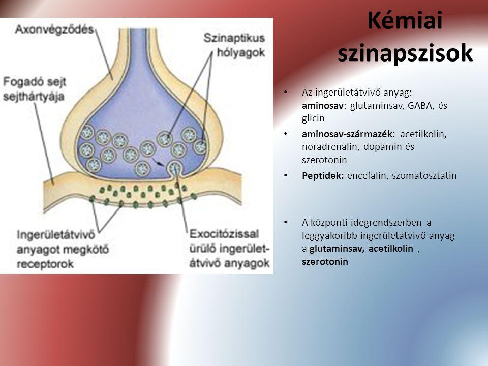 Kémiai szinapszisok Az ingerületátvivő anyag: aminosav: glutaminsav, GABA, és glicin.