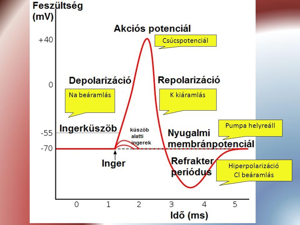 Csúcspotenciál Na beáramlás K kiáramlás Pumpa helyreáll Hiperpolarizáció Cl beáramlás