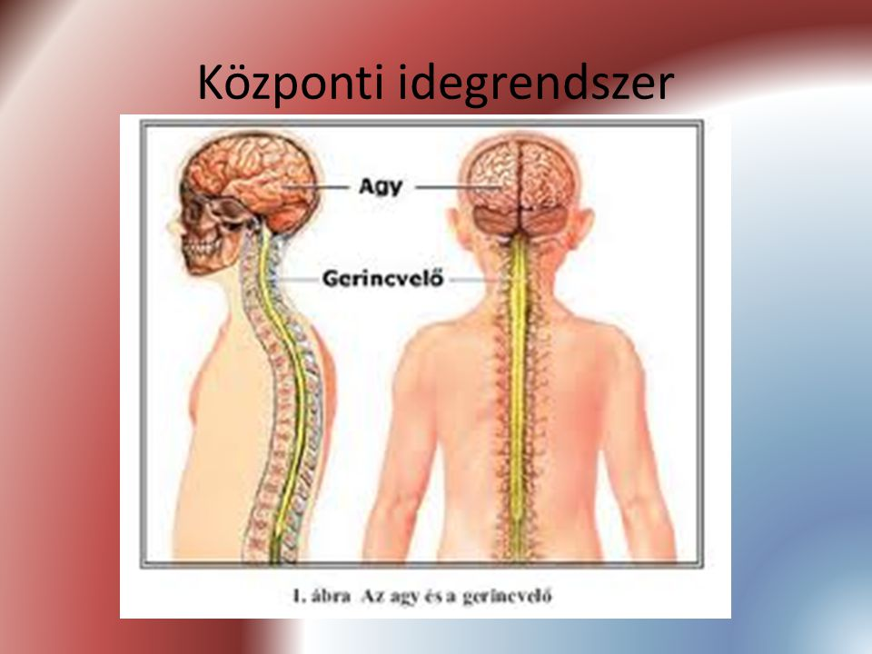 Központi idegrendszer