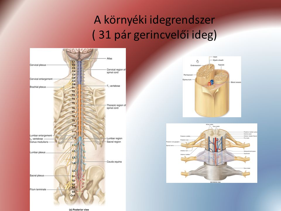 A környéki idegrendszer ( 31 pár gerincvelői ideg)
