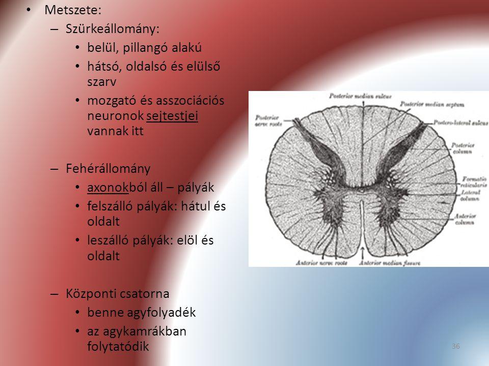 Metszete: Szürkeállomány: belül, pillangó alakú. hátsó, oldalsó és elülső szarv. mozgató és asszociációs neuronok sejtestjei vannak itt.
