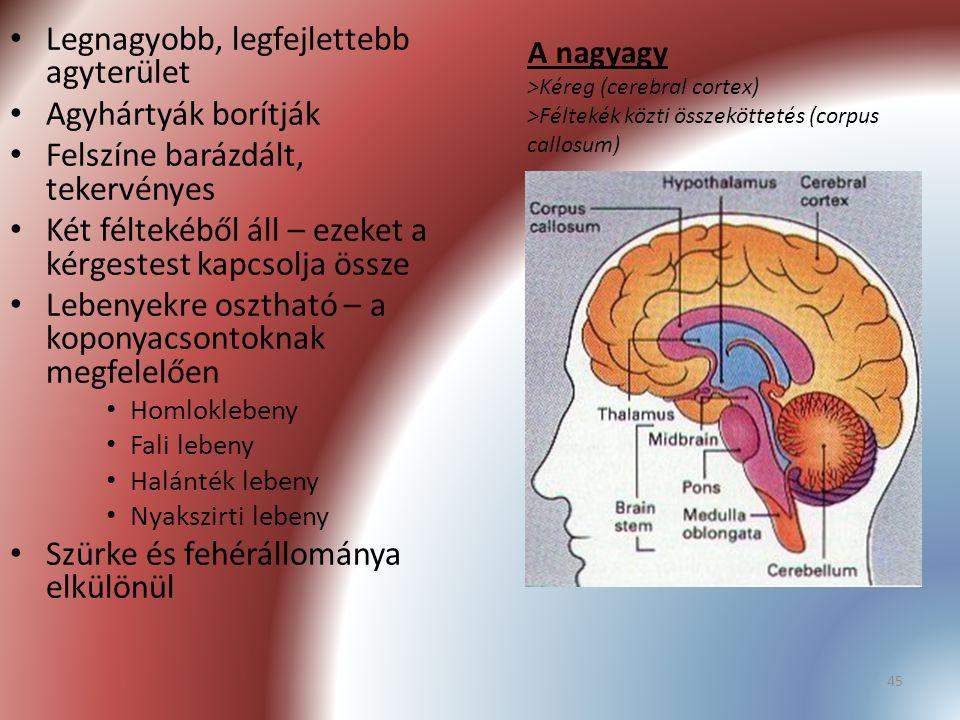 Legnagyobb, legfejlettebb agyterület Agyhártyák borítják