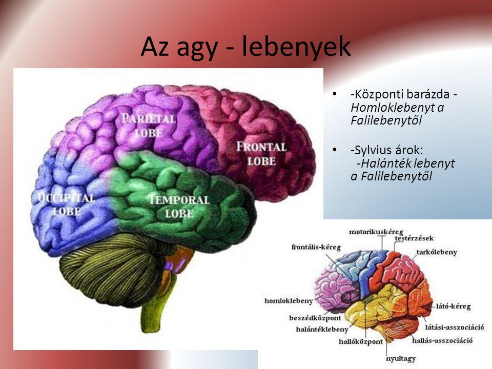 Az agy - lebenyek -Központi barázda -Homloklebenyt a Falilebenytől