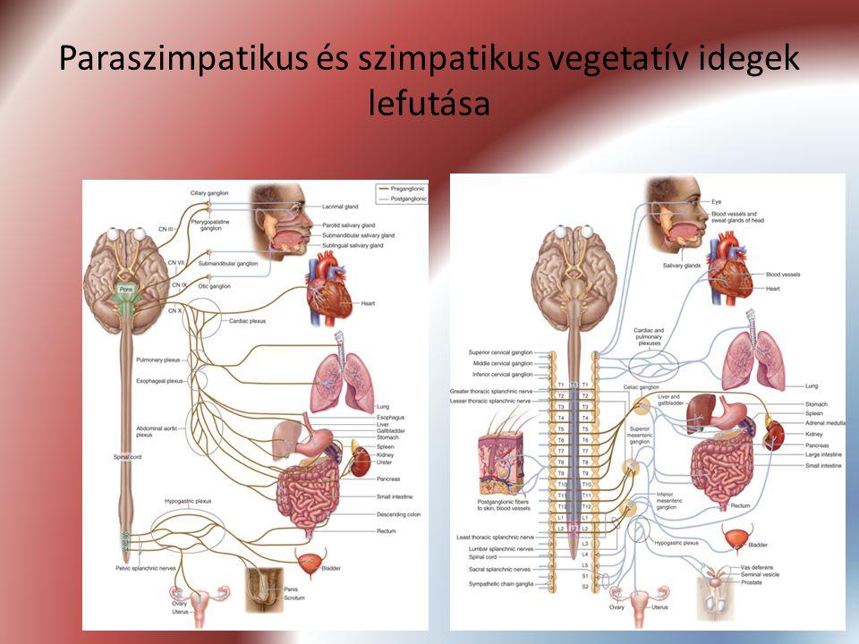 Paraszimpatikus és szimpatikus vegetatív idegek lefutása