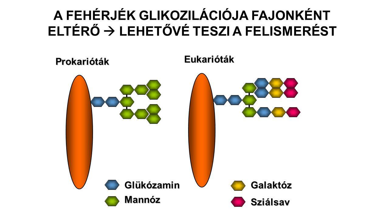 A FEHÉRJÉK GLIKOZILÁCIÓJA FAJONKÉNT ELTÉRŐ  LEHETŐVÉ TESZI A FELISMERÉST