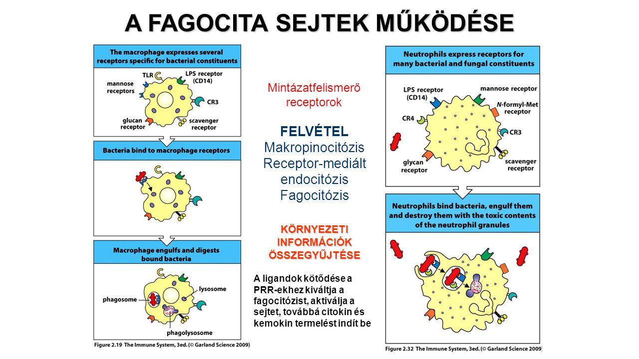 A FAGOCITA SEJTEK MŰKÖDÉSE KÖRNYEZETI INFORMÁCIÓK ÖSSZEGYŰJTÉSE