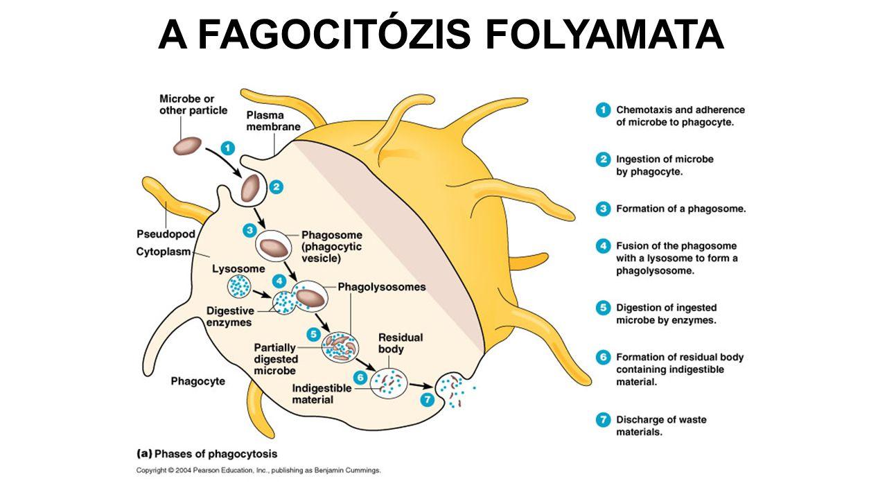 A FAGOCITÓZIS FOLYAMATA