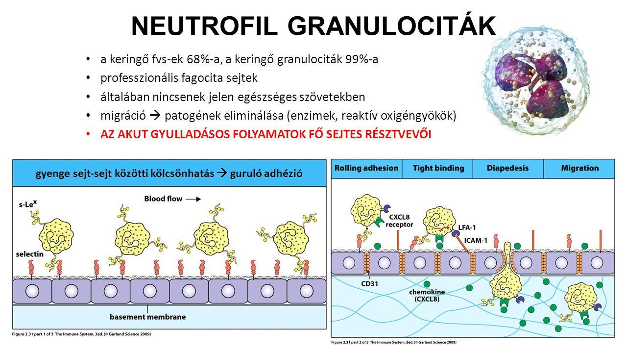 NEUTROFIL GRANULOCITÁK