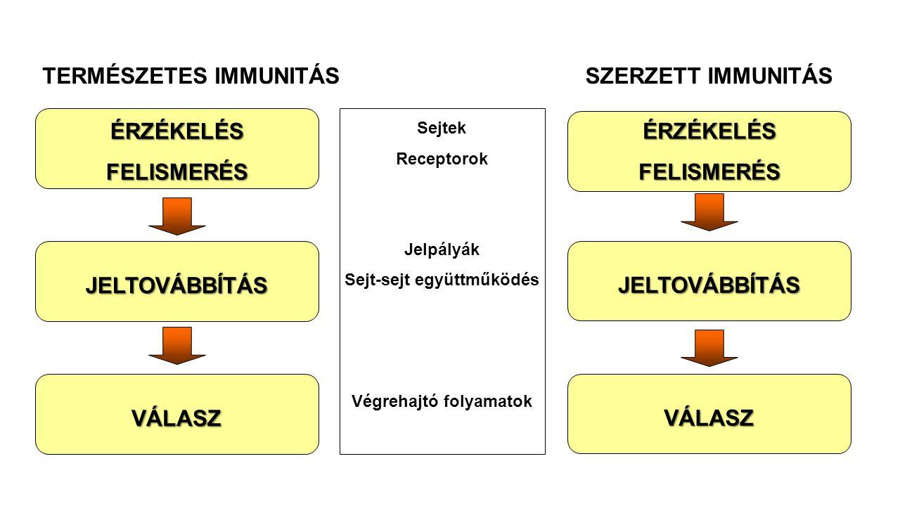 TERMÉSZETES IMMUNITÁS Sejt-sejt együttműködés Végrehajtó folyamatok