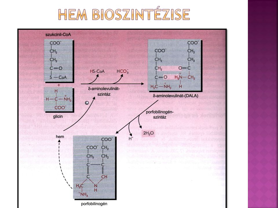 Hem bioszintézise