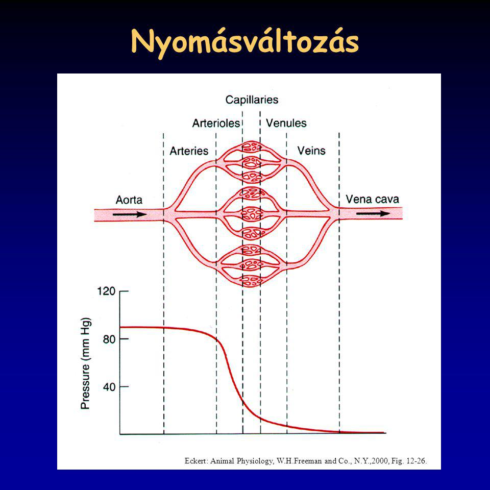 Nyomásváltozás Eckert: Animal Physiology, W.H.Freeman and Co., N.Y.,2000, Fig. 12-26.