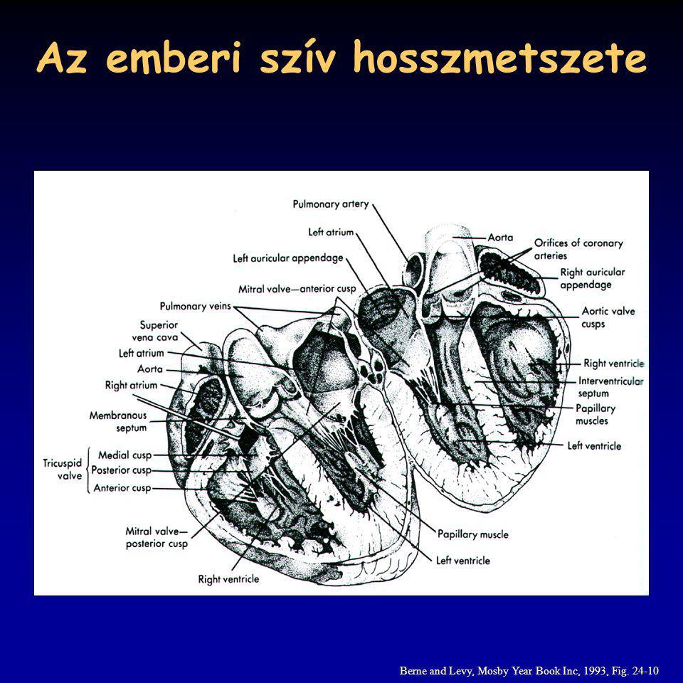 Az emberi szív hosszmetszete