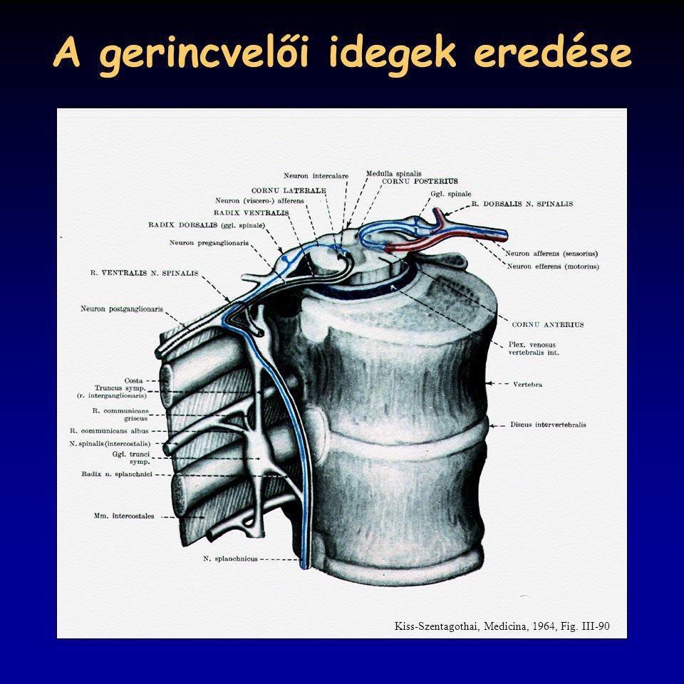 A gerincvelői idegek eredése