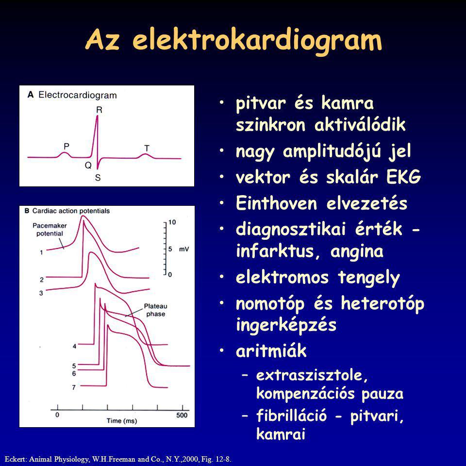 Az elektrokardiogram pitvar és kamra szinkron aktiválódik