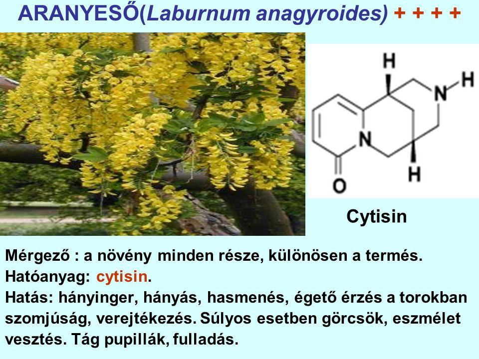 ARANYESŐ(Laburnum anagyroides) + + + +