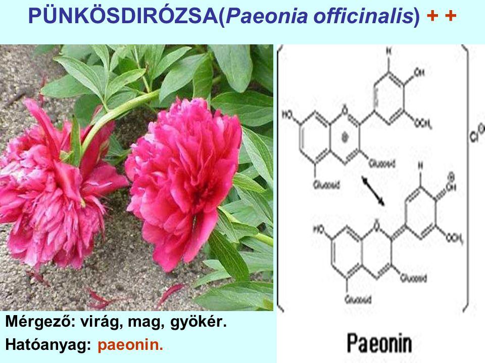 PÜNKÖSDIRÓZSA(Paeonia officinalis) + +