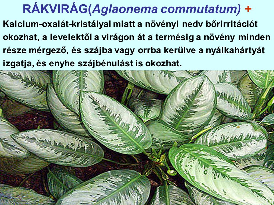 RÁKVIRÁG(Aglaonema commutatum) +