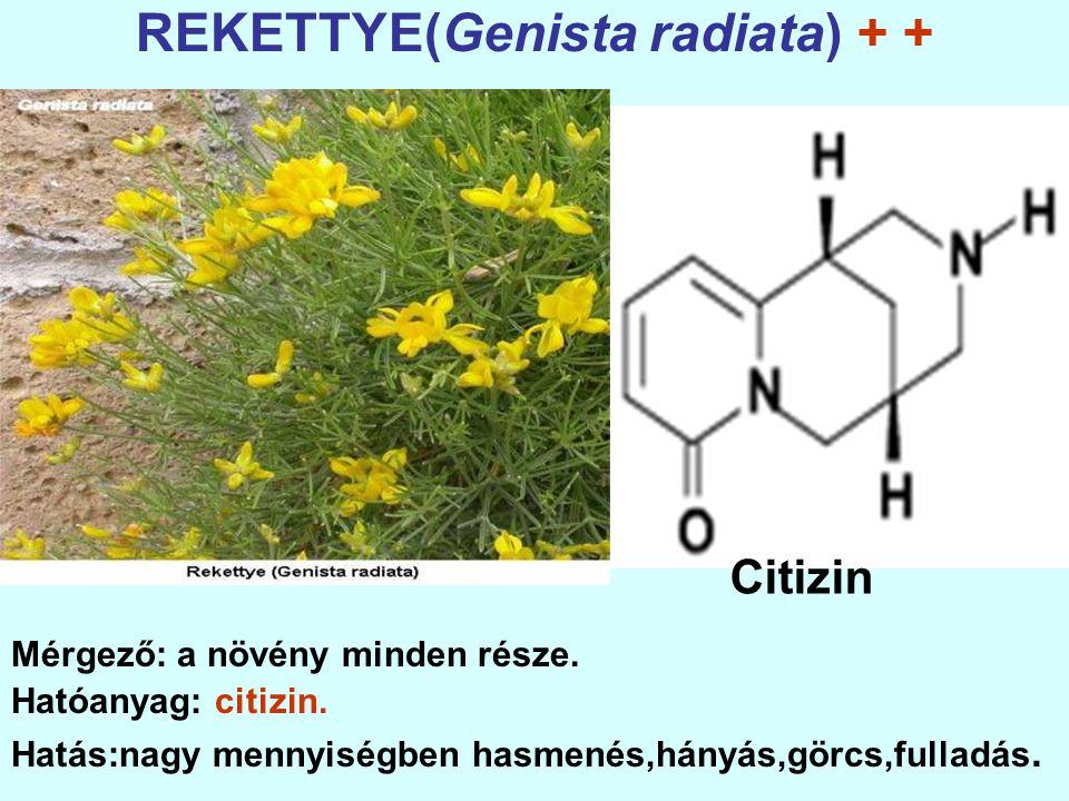 REKETTYE(Genista radiata) + +
