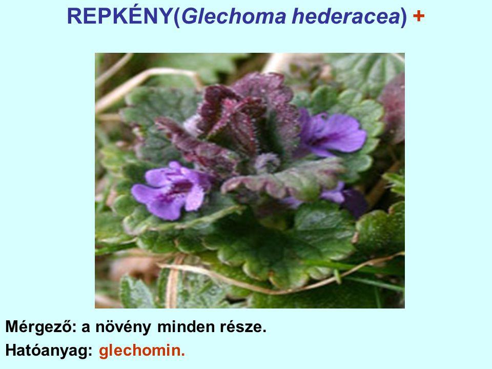 REPKÉNY(Glechoma hederacea) +