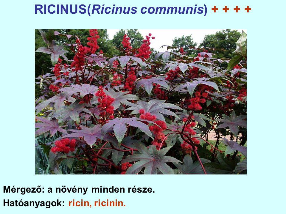 RICINUS(Ricinus communis) + + + +