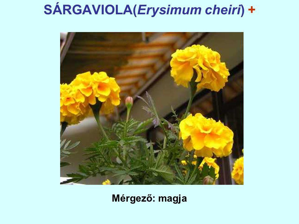 SÁRGAVIOLA(Erysimum cheiri) +