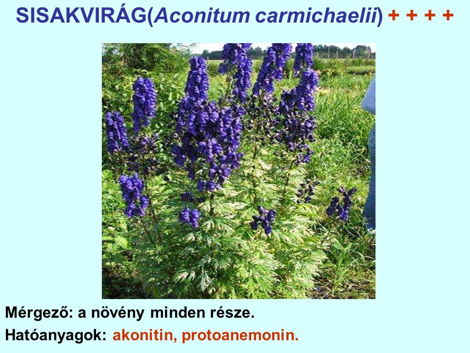 SISAKVIRÁG(Aconitum carmichaelii) + + + +