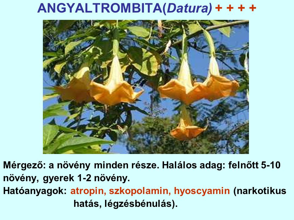ANGYALTROMBITA(Datura) + + + +