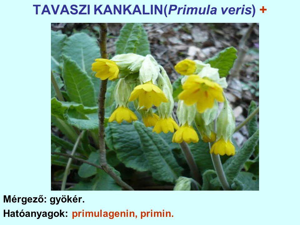 TAVASZI KANKALIN(Primula veris) +