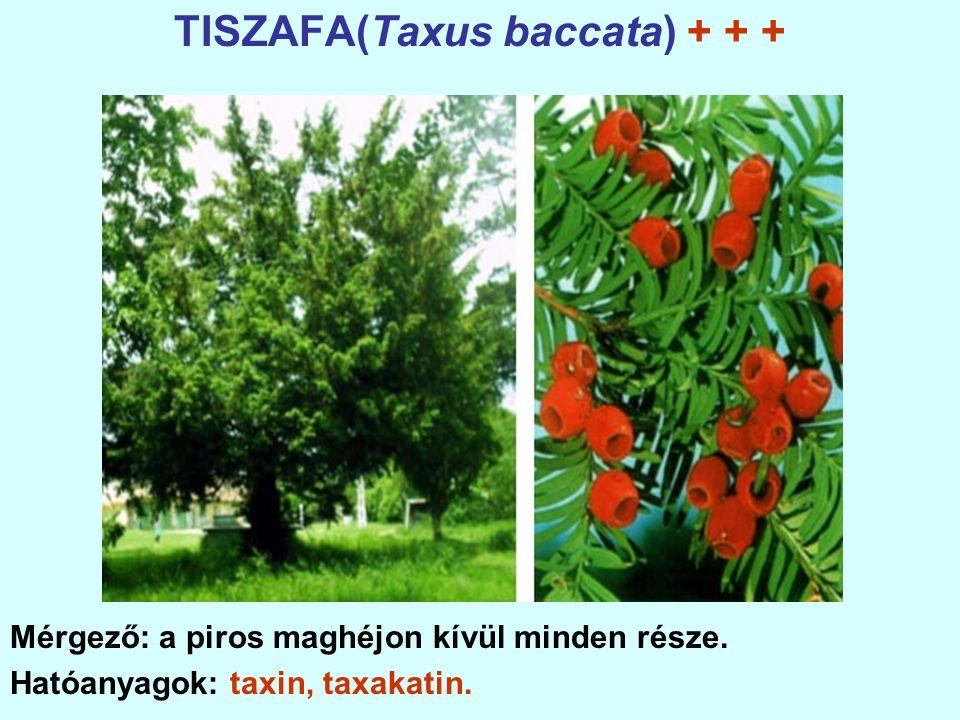 TISZAFA(Taxus baccata) + + +