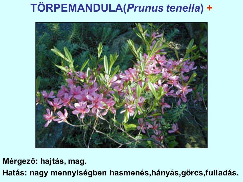 TÖRPEMANDULA(Prunus tenella) +