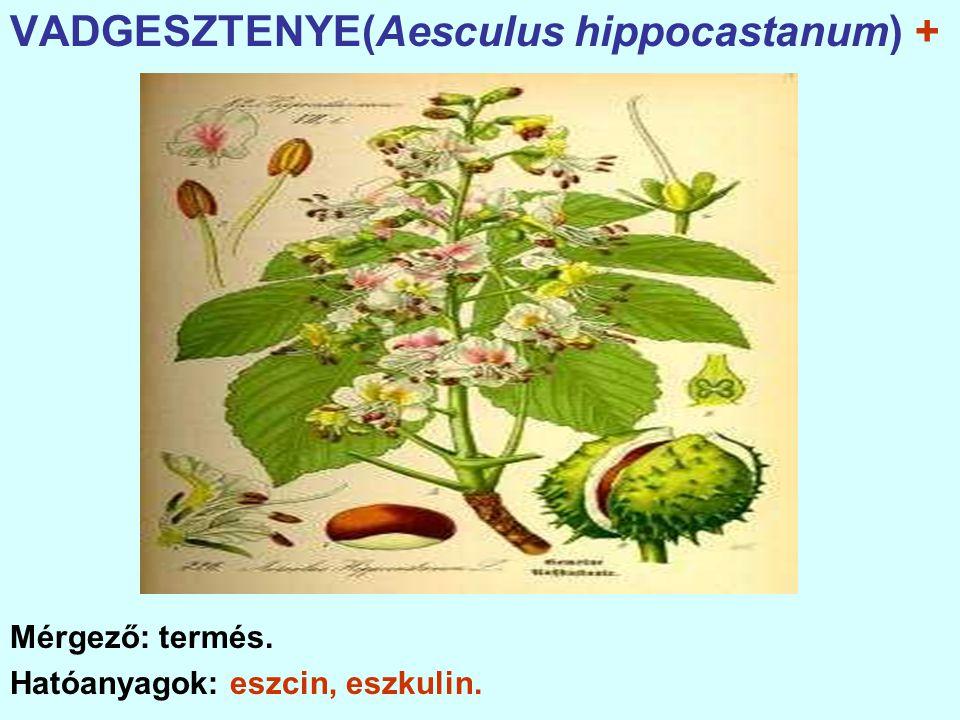 VADGESZTENYE(Aesculus hippocastanum) +