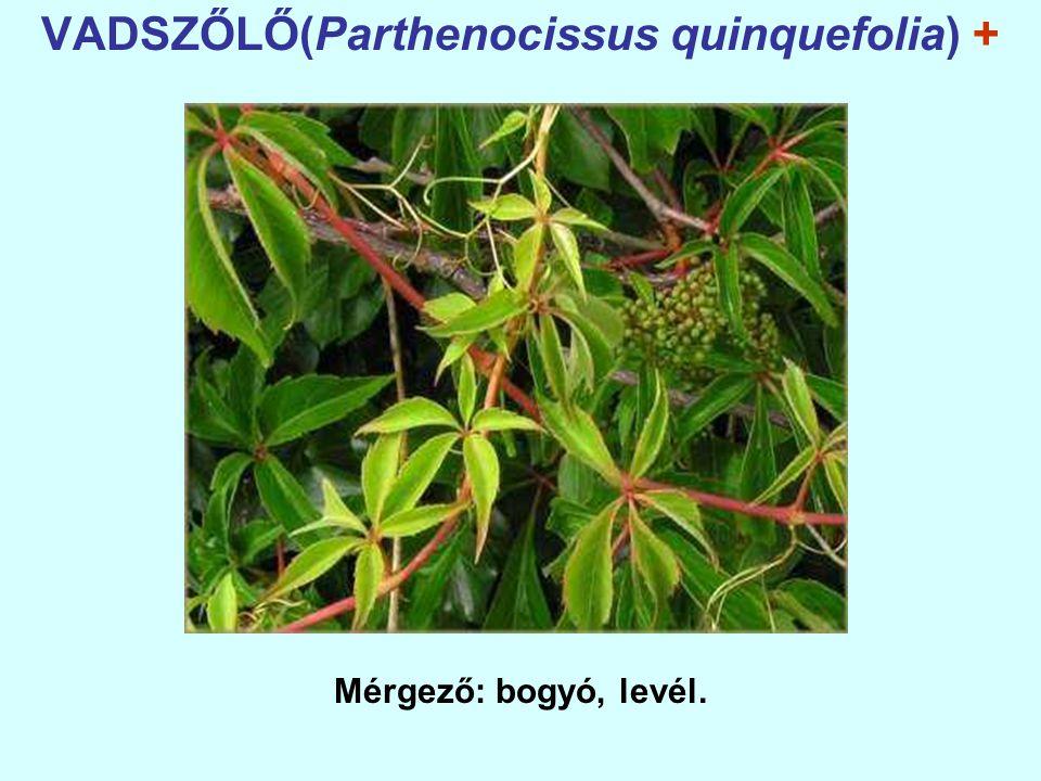 VADSZŐLŐ(Parthenocissus quinquefolia) +