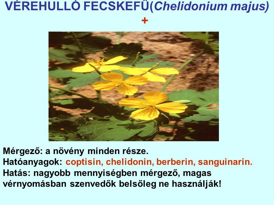 VÉREHULLÓ FECSKEFŰ(Chelidonium majus)