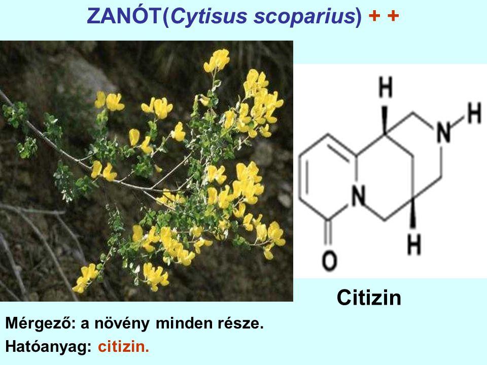 ZANÓT(Cytisus scoparius) + +