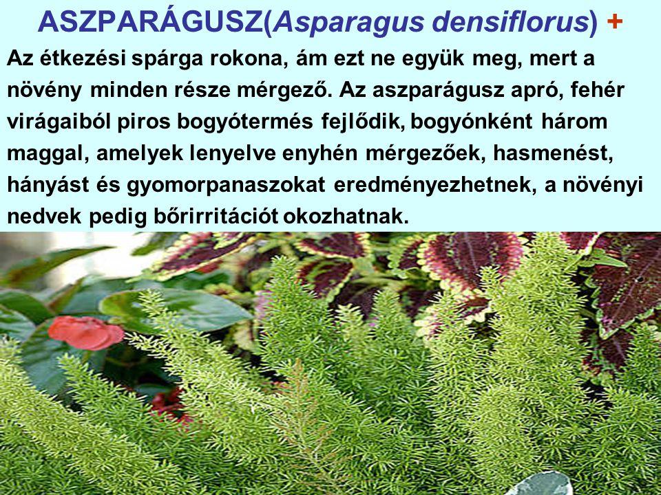 ASZPARÁGUSZ(Asparagus densiflorus) +