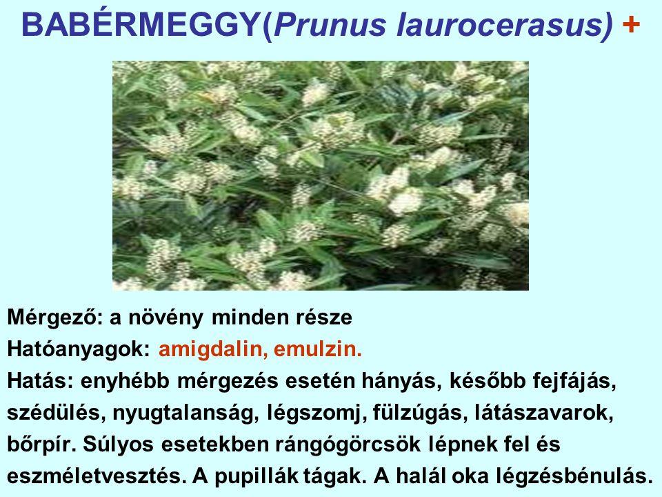 BABÉRMEGGY(Prunus laurocerasus) +
