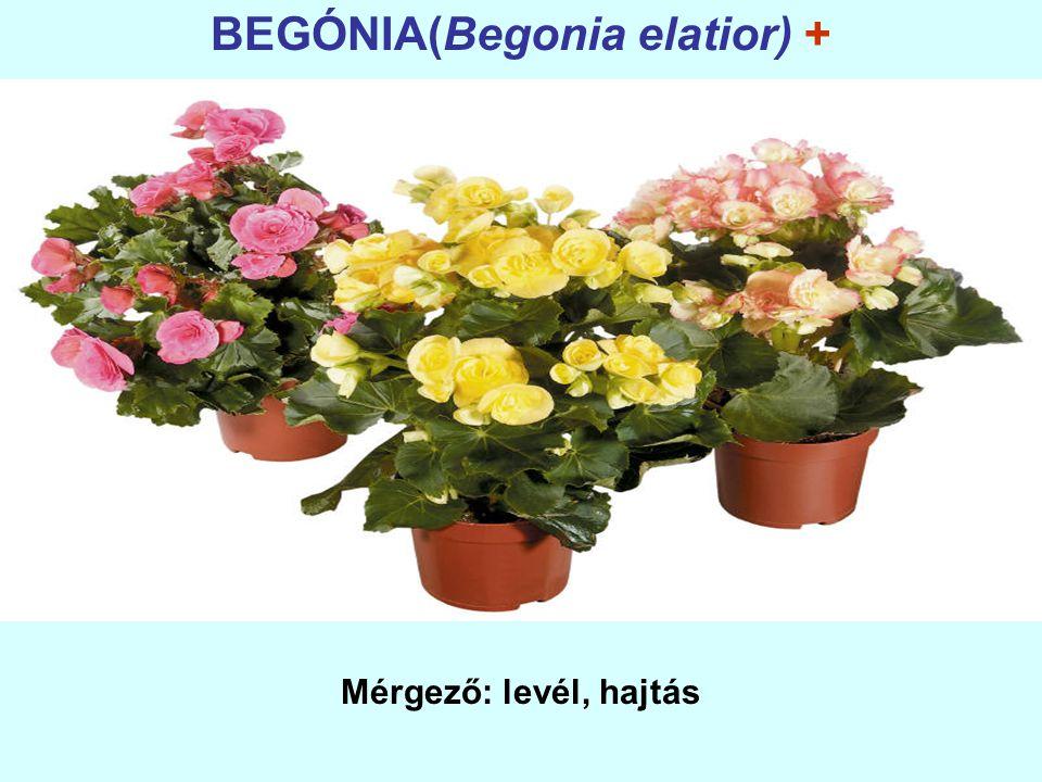 BEGÓNIA(Begonia elatior) +